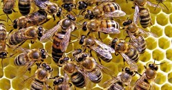 چگونگی زیست زنبور عسل